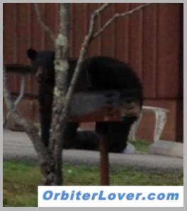 black bear, cumberland, daniel boone, kentucky